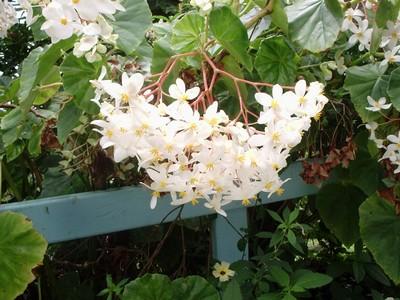 Fruits de Martinique et Fleurs blanches