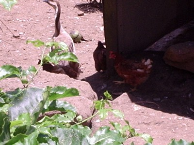 Jars de Martinique et poules